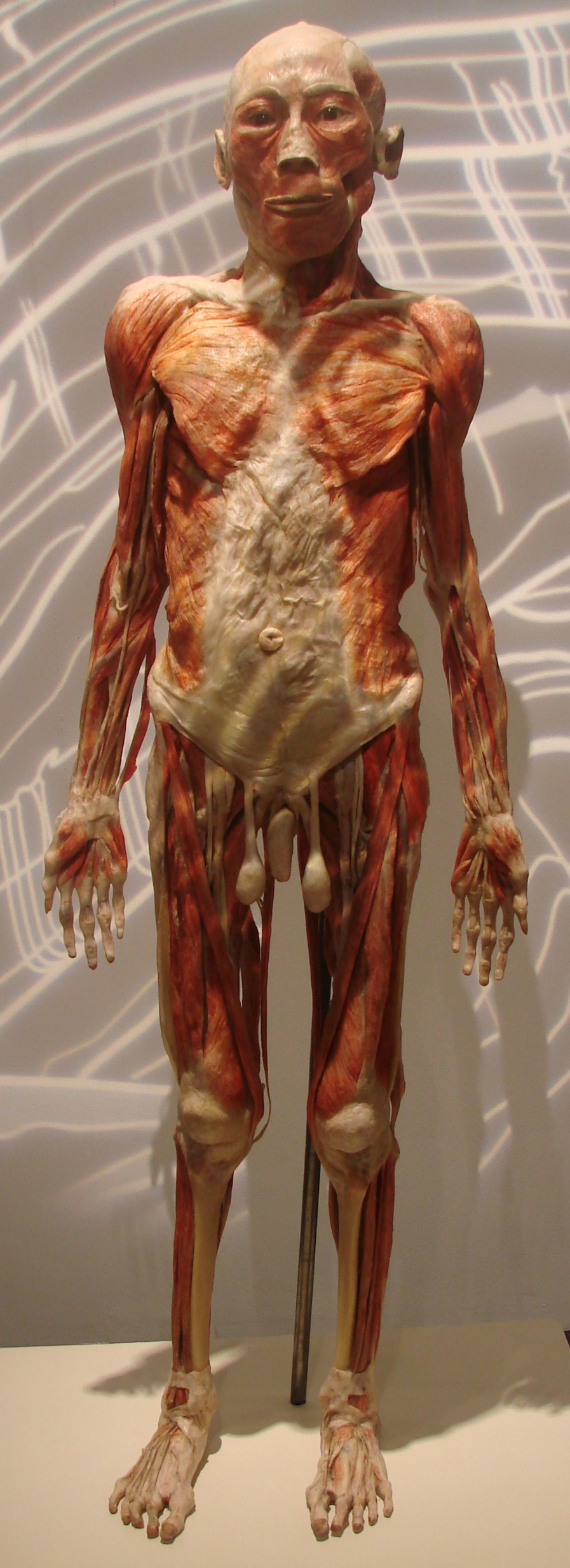 bodies exhibit essay I believe the educational value of this exhibit is extraordinary we can look into the mirror and simply see our external appearance, but bodiesthe exhibition also allows us to know what.