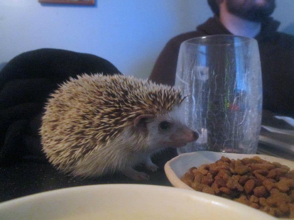 My Hedgehog Water Bowl Solution From Petmate Emily Reviews