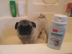 frank the pug dandruff dog shampoo