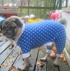 barrel chested pug clothing