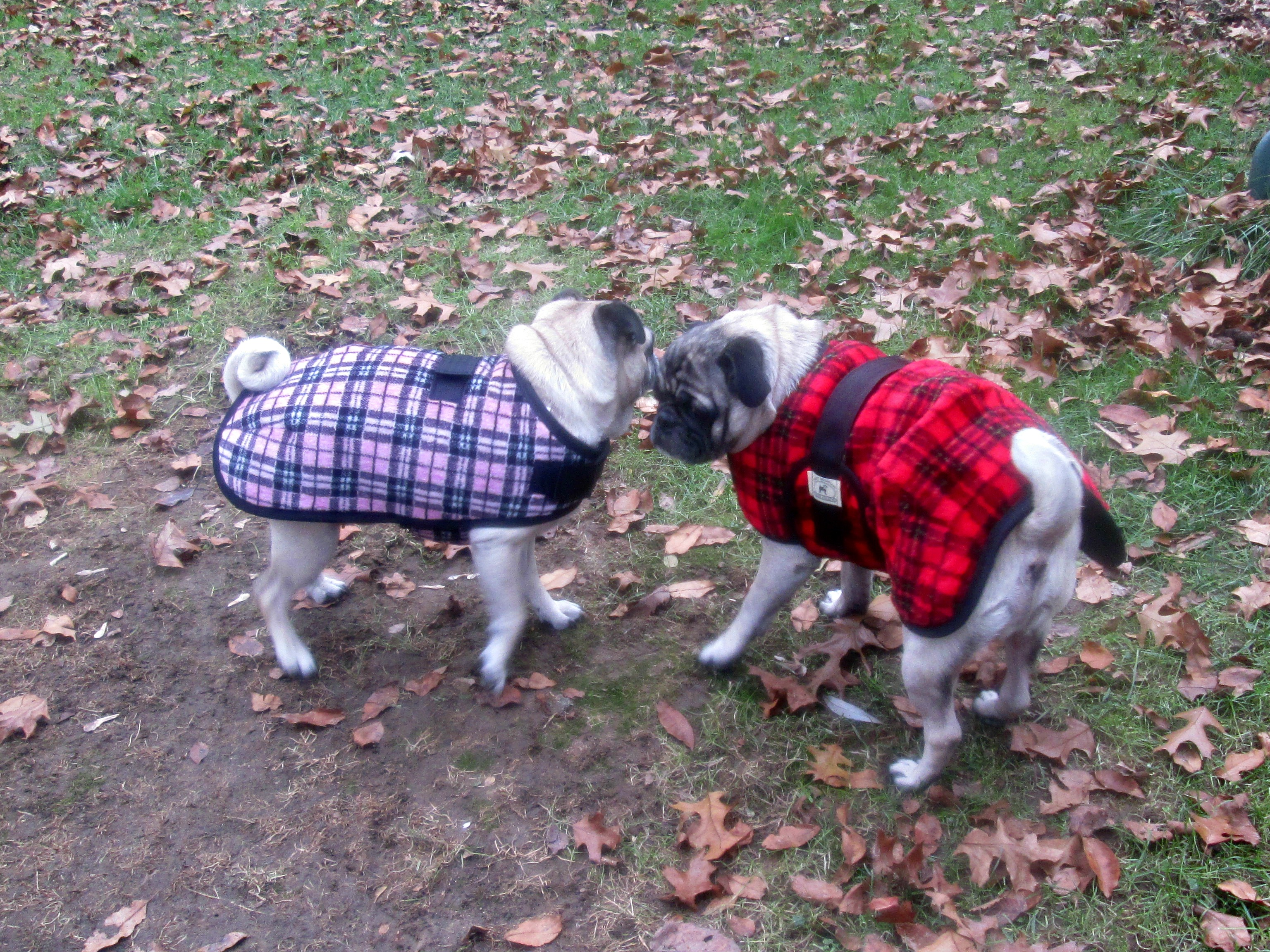 True Fit Dog Coats Review - Dog Coats That Fit Pugs - Gift