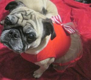 pug wearing dress