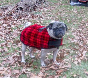 pug wearing coat