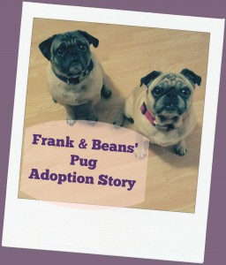 Frank and Beans Pug Dog Adoption Story