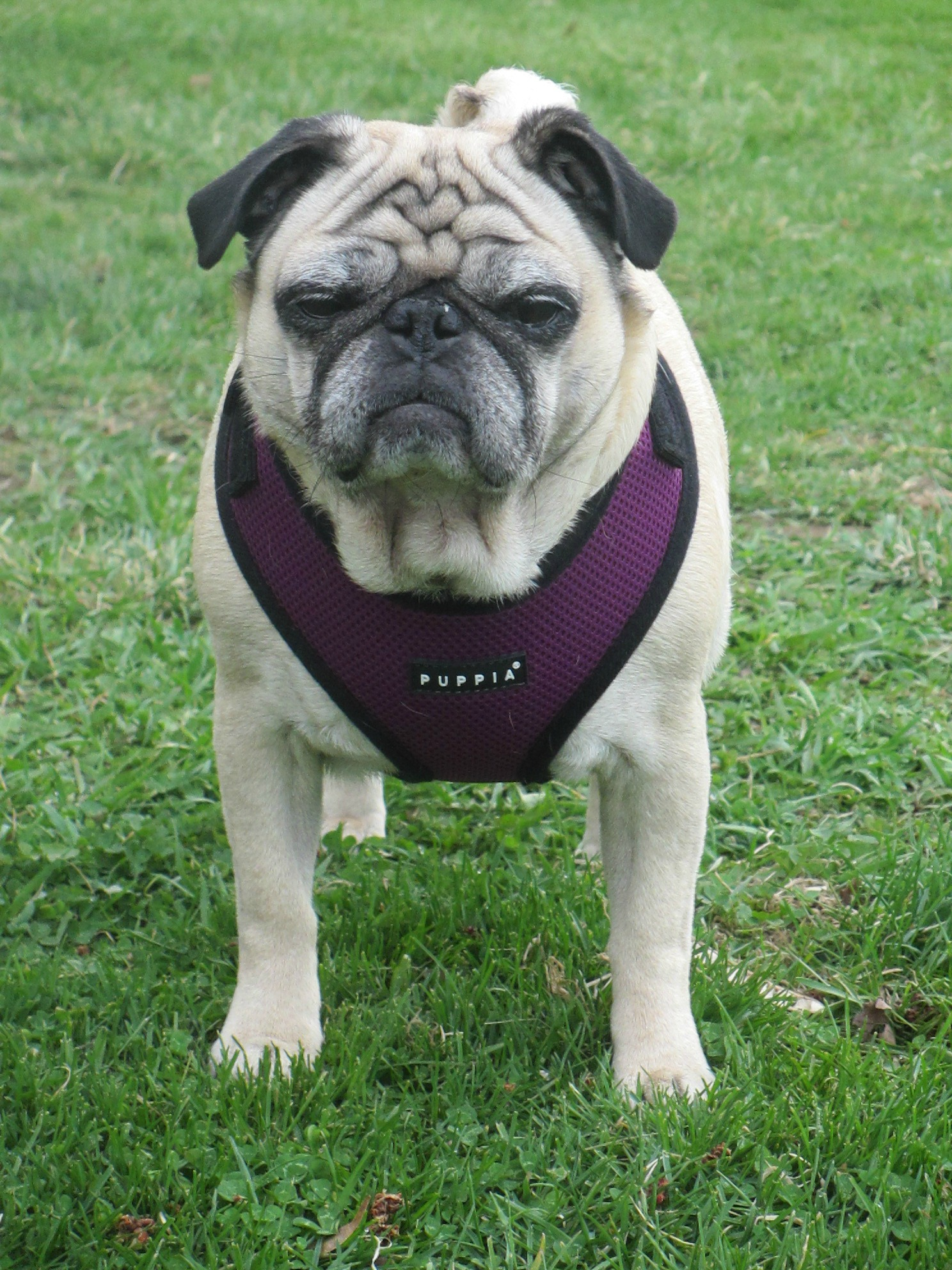 the best fitting harnesses for pugs puppia ritefit review from doggie couture shop emily reviews. Black Bedroom Furniture Sets. Home Design Ideas