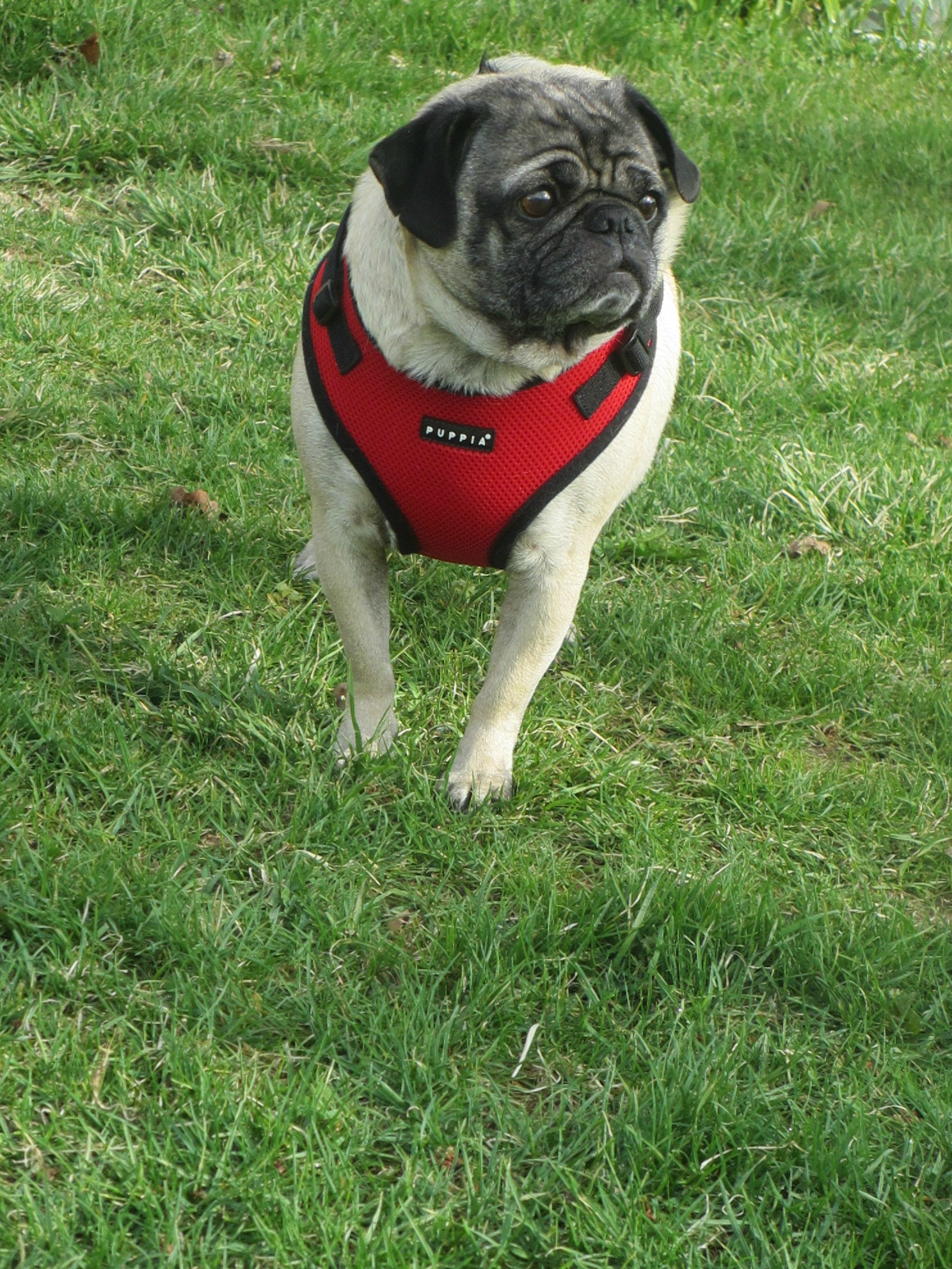Best Harness Big Pug