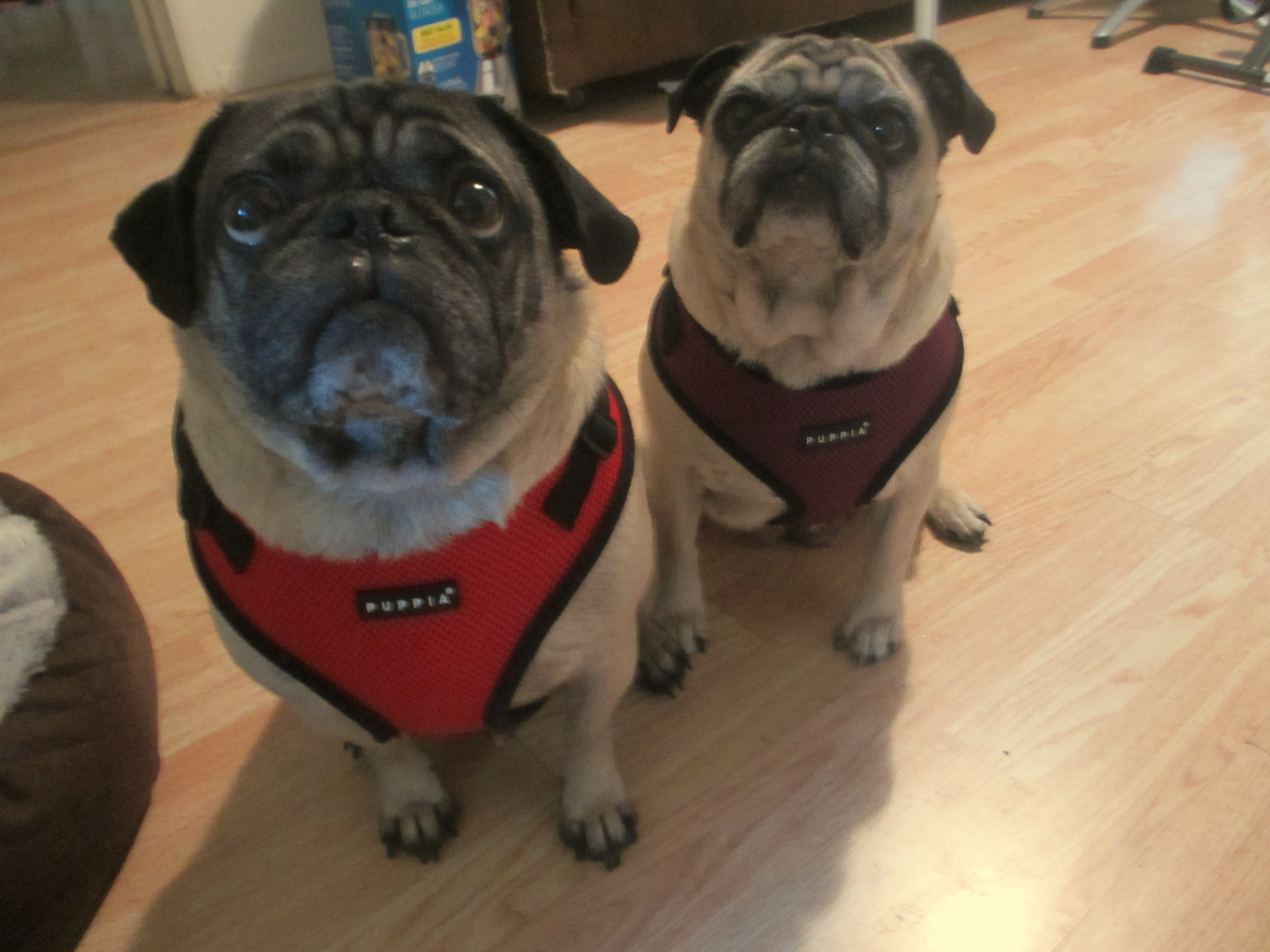 The Best Ing Harnesses For Pugs