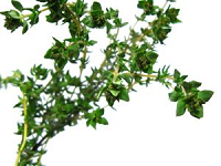 thyme-free images 2