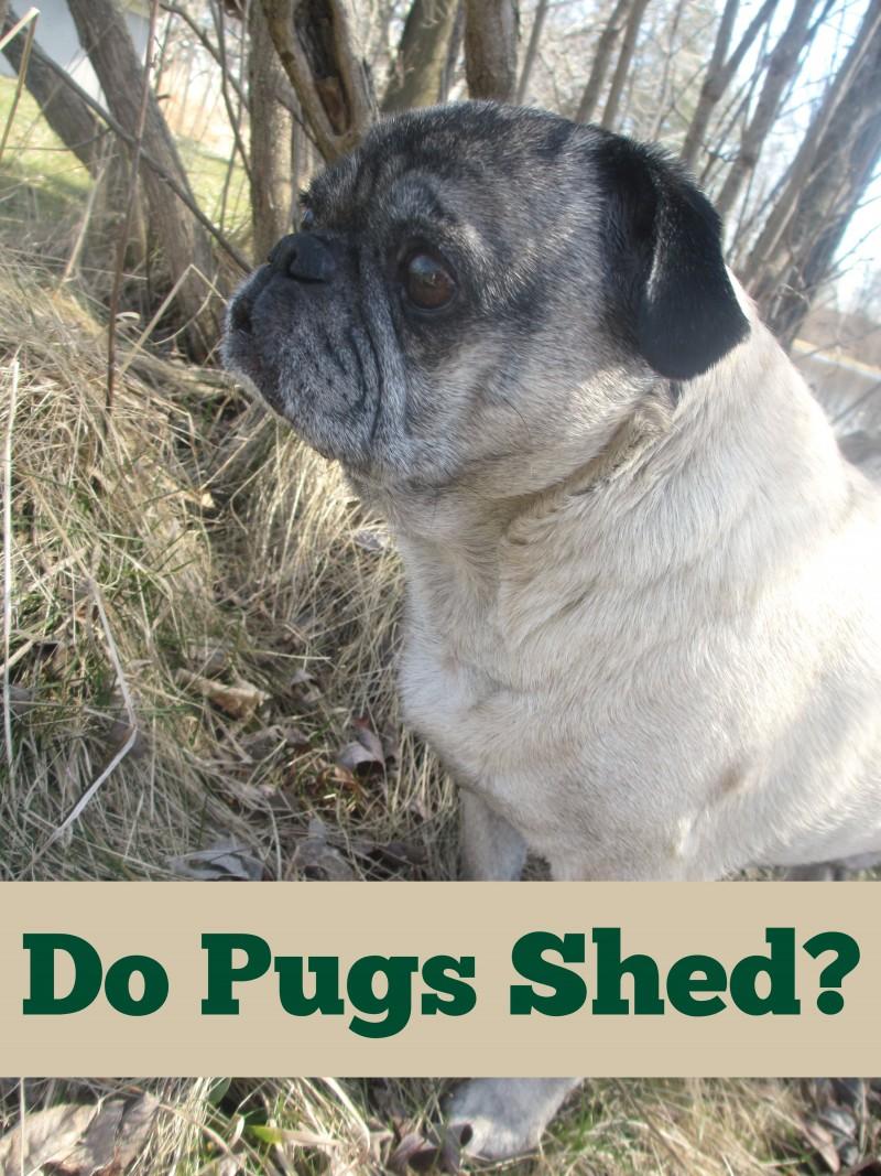 Do Pugs Shed Emily Reviews