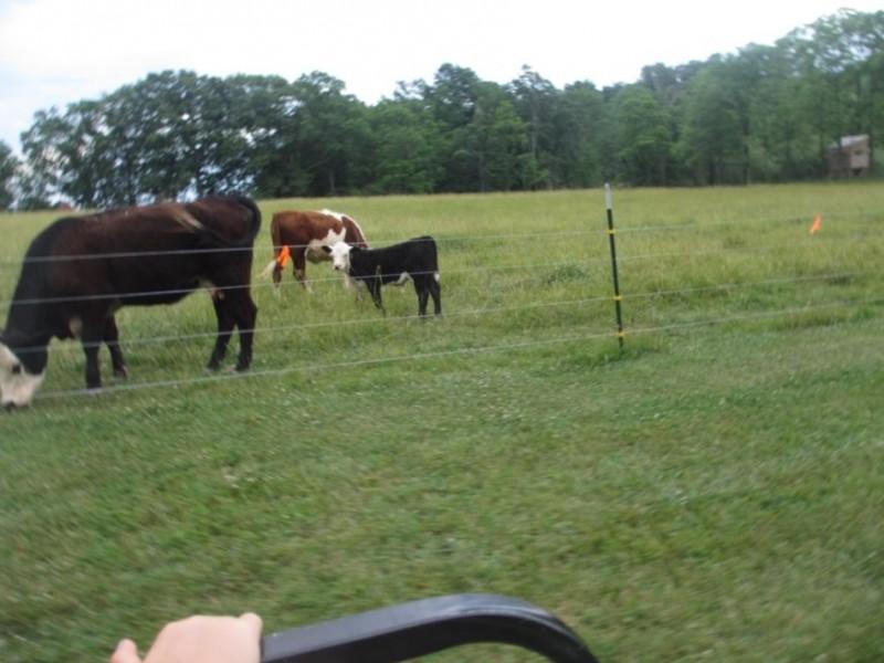Dad's cows