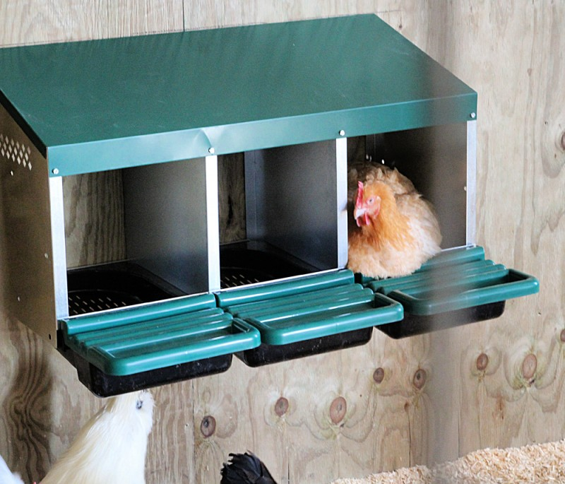 Thinking About Getting Chickens? Here's What You Need To Know!