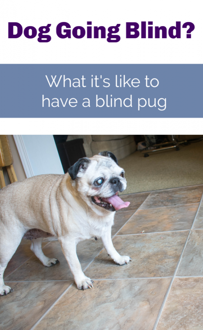 pug going blind? What it's like to have a blind pug dog. #glaucoma #pugs #seniorpugs