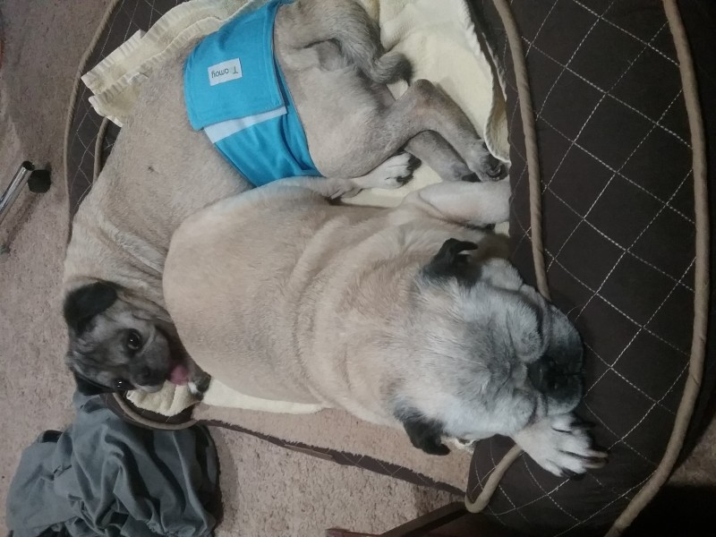 trim belly band for pugs
