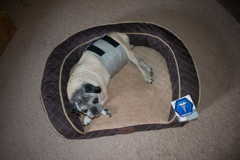 Pug belly band size