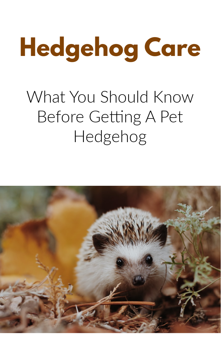 Hedgehog Care : What you should know before getting a pet hedgehog. Common questions about hedgehog ownership.