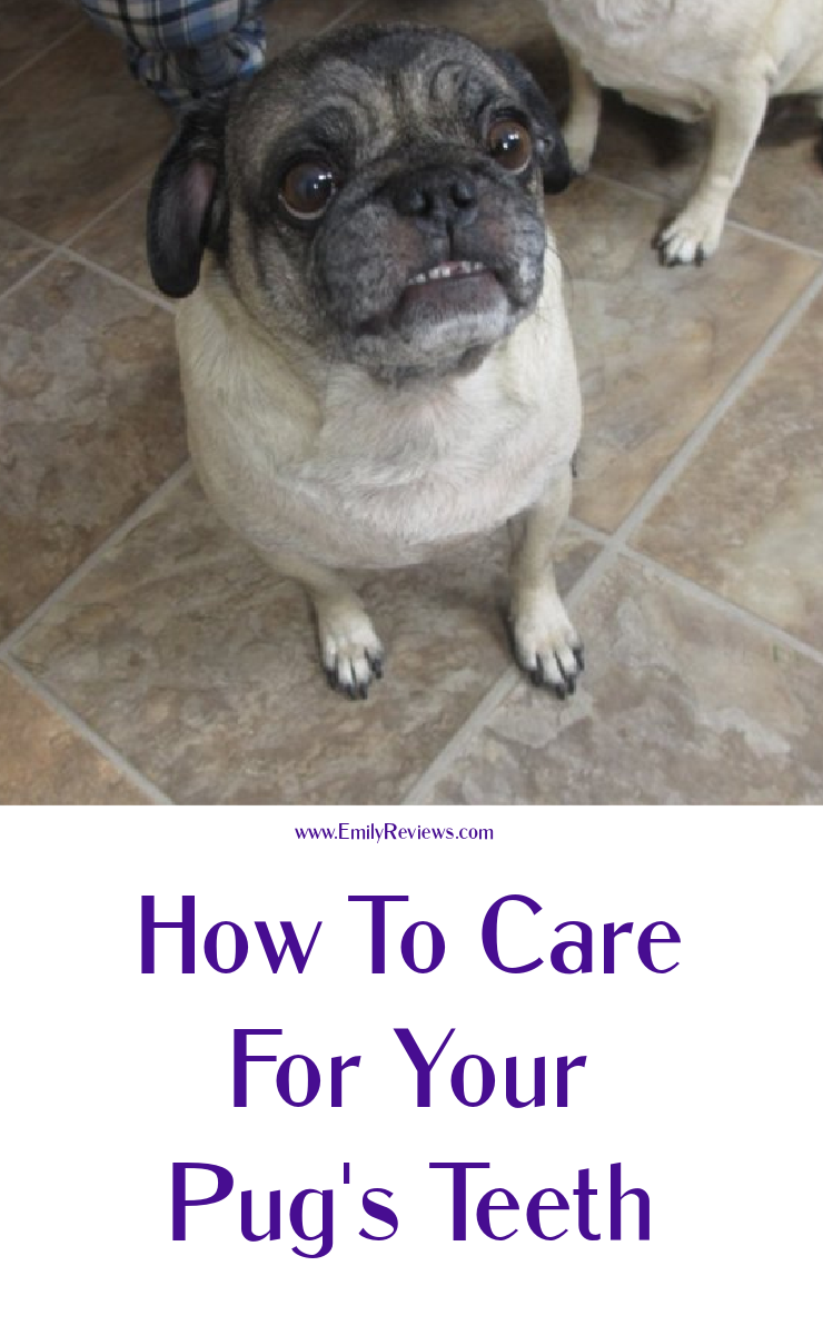 how to care for your pug's teeth (even if they won't let you brush them!) #pugs