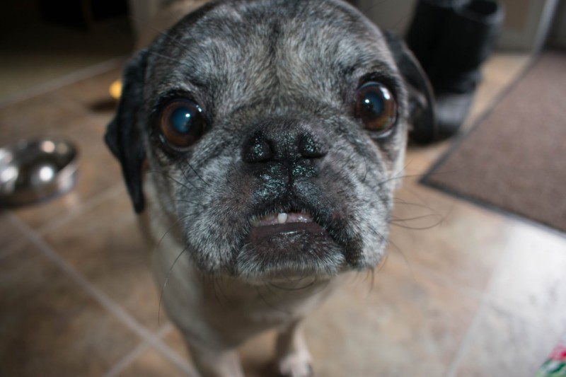 how to care for pug's teeth