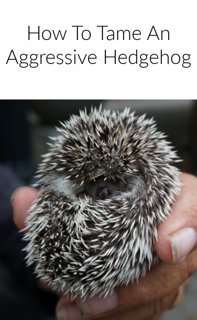 How to tame an aggressive hedgehog
